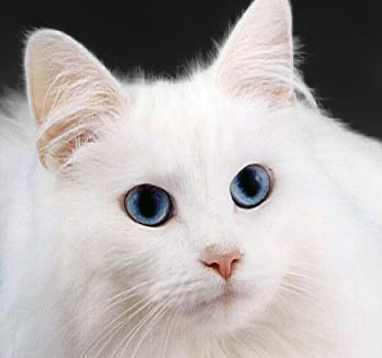 Blue-eyed cats with white fur have a higher incidence of [[:en:genetics##genetic]] [[:en:deafness]]. Over 200 heritable genetic defects have been identified in the cat, many of which are homologous to human inborn errors. Specific metabolic defects...