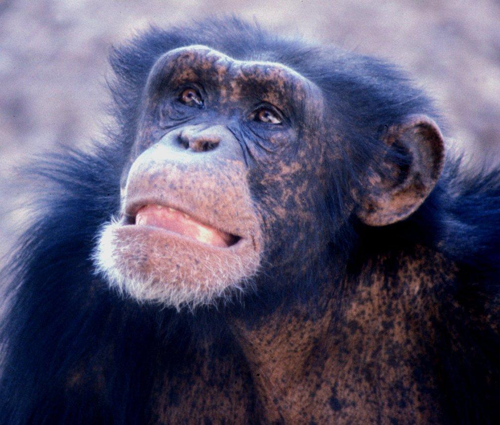 Young adult male chimpanzee