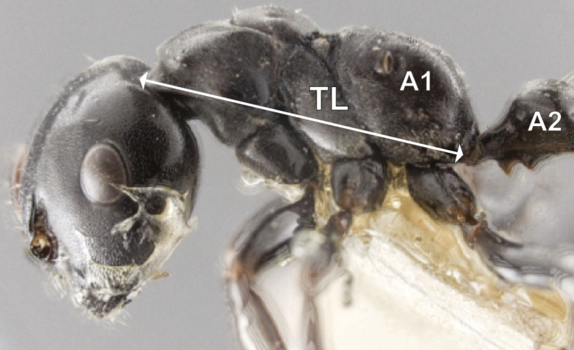 The body shapes of queen ants and worker ants have evolved in different ways to reflect their different roles.