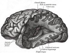 Brain, Gray's Anatomy of the Human Body