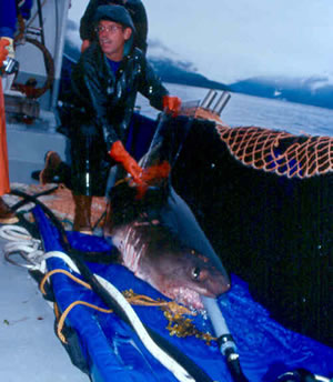 A salmon shark is tagged. A hose pipe maintains a flow of water over the gills.