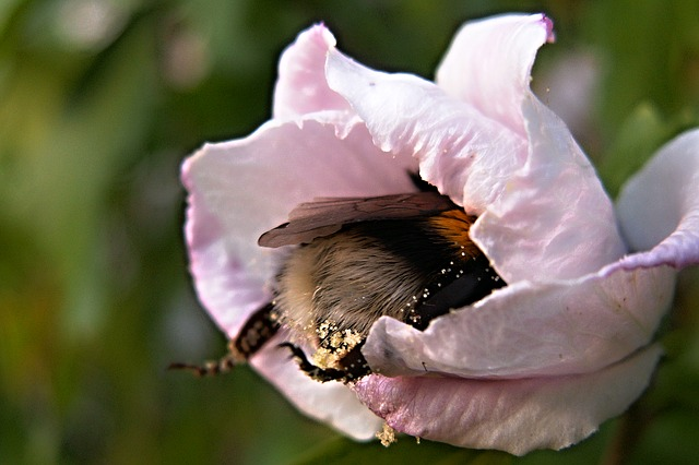 Bumble bee in a flower