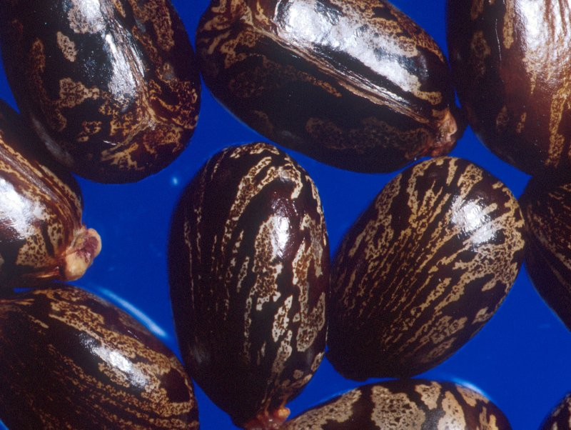 Caster Beans from which Ricin is made