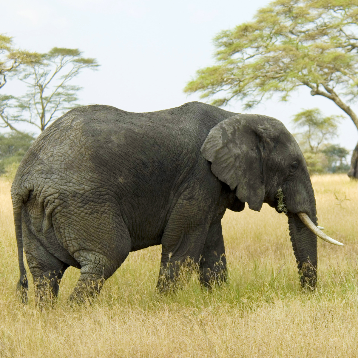 Elephants have extra copies of a gene that protects against cancer.