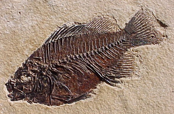 Eocene Fossilised Fish