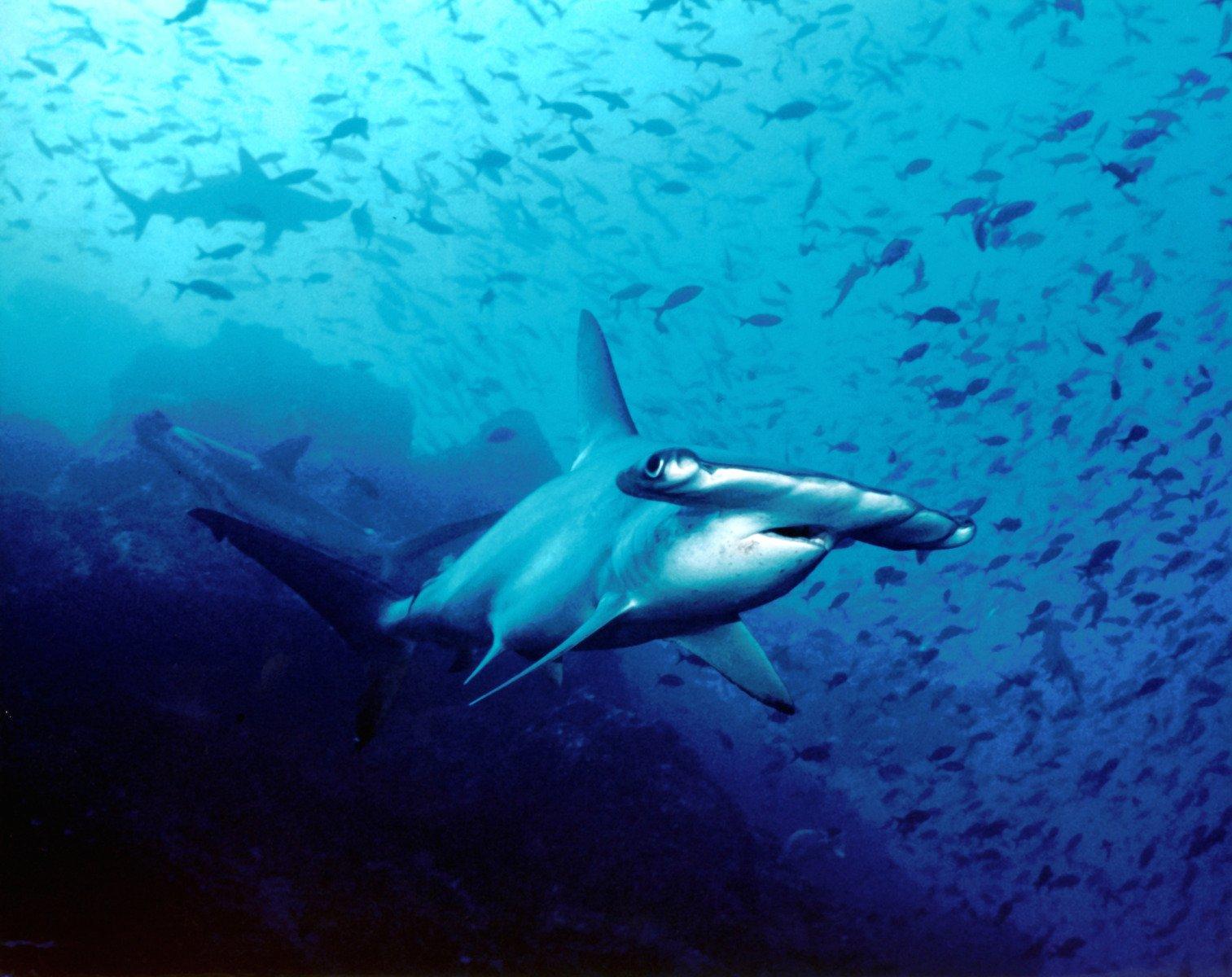 Hammerhead Shark, Costa Rica
