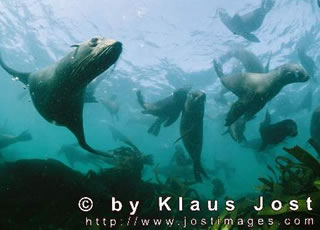 South African fur seals cross the dangerous