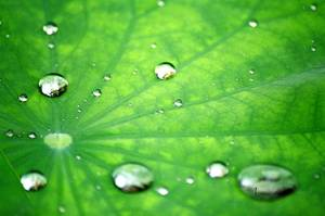 Lotus Leaf Repelling Water