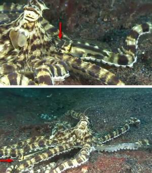 Mimic octopus and black marble jawfish