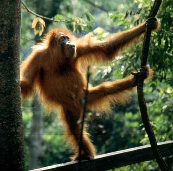 Sumatran orangutan at the Orang rehabilitation centre, Buket Lawang, Sumatra.