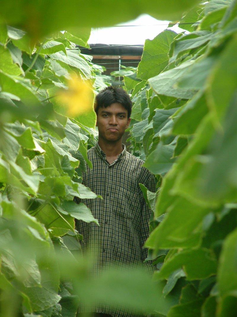 Cucumbers in seawater greenhouse in Oman