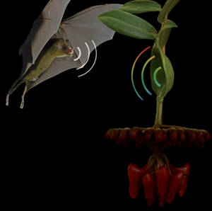 Photo montage of an inflorescence of Marcgravia evenia and an approaching Cuban nectarfeeding bat Monophyllus remani.