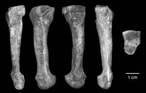 fourth metatarsal afarensis
