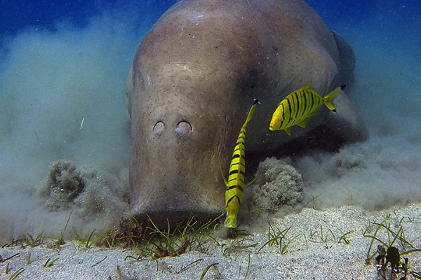Dugong grazing on seagrass