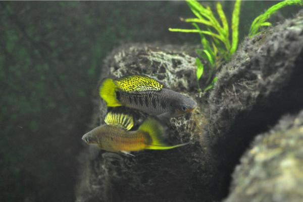 Hybrid fish