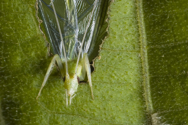 A tree cricket calling from a baffle