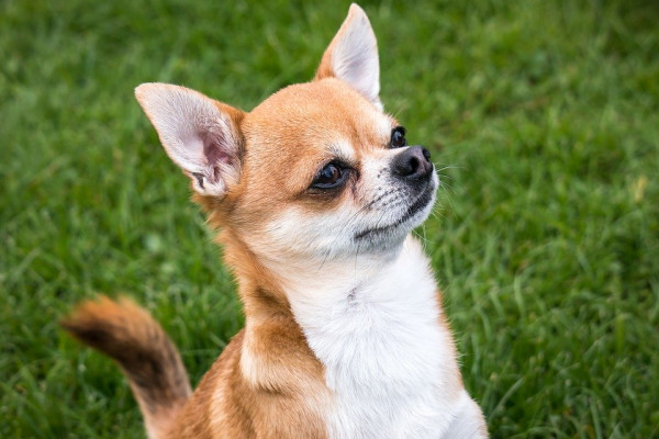CHIHUAHUA ON THE GRASS