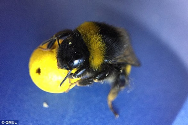 Bee dragging a ball