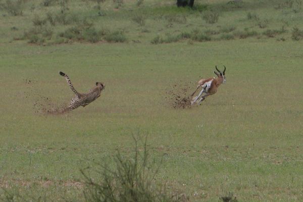 Cheetah pursuing an antelope