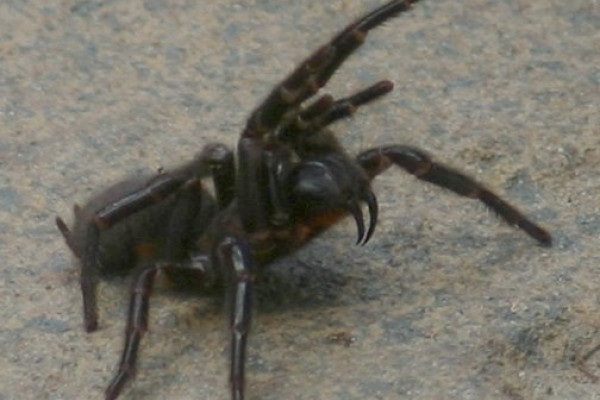 Female Sydney funnel-web Spider