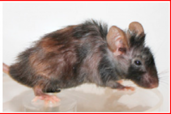 Anti-senescence drug reverses ageing in old mice