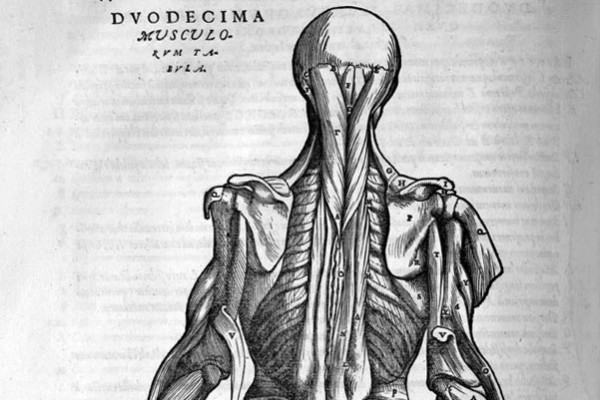Vesalius anatomical drawing of muscles in the back