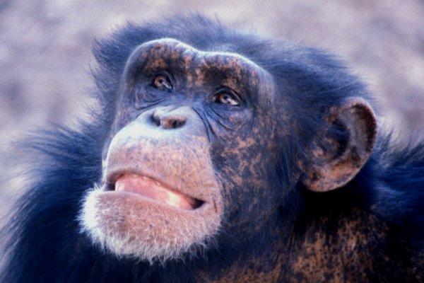 Male chimp