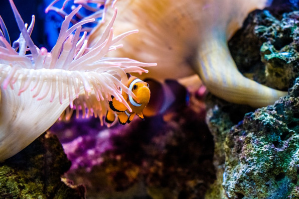 Clown fish taking shelter in coral reef