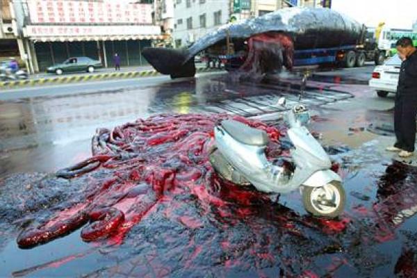 Sperm whale explodes en-route to a museum