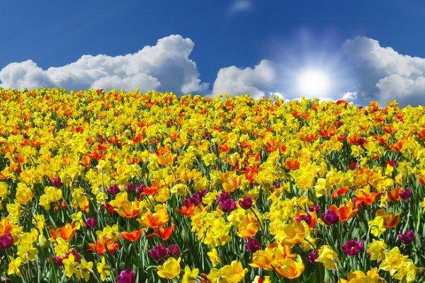 Field of yellow flowers