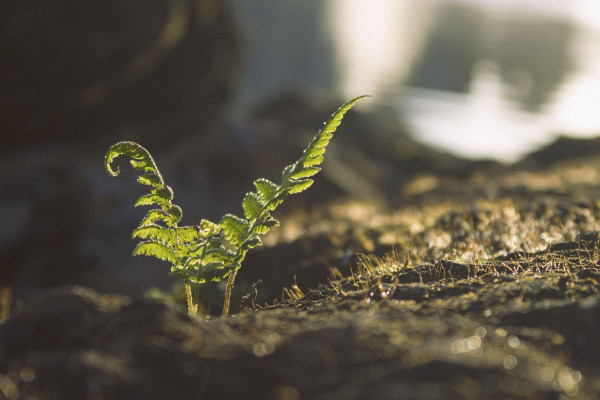 Young fern growing.