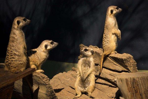meerkats - a cooperative society
