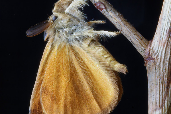 A moth hanging from a twig.