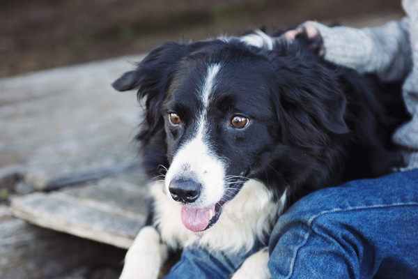 Scientists have identified five genes that are associated with help-seeking behaviour in dogs.