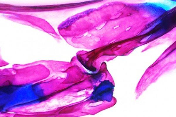 Zebrafish joints