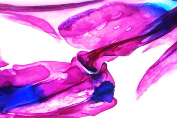 Zebrafish joints