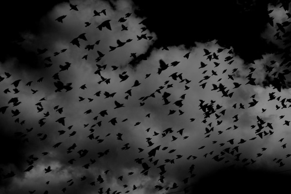 A black and white image of a flock of birds