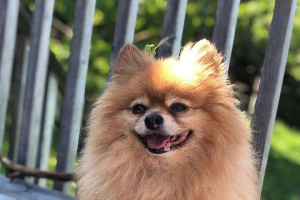 A pomeranian dog.