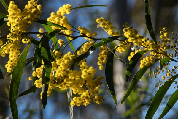 Blossoms on a wattle (acacia) tree.