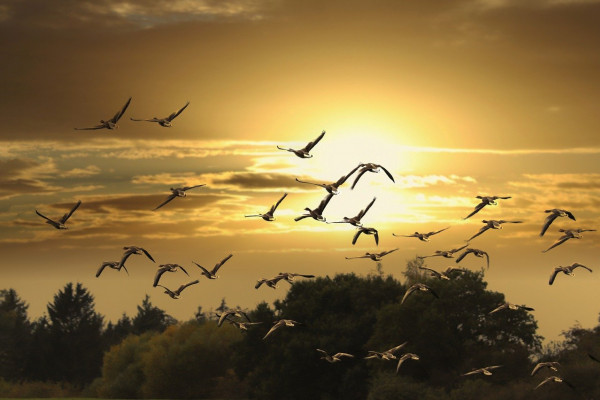 a photo of migrating birds