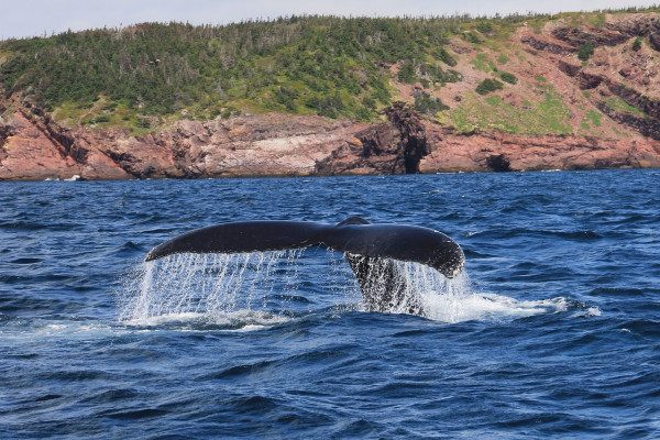 The tail of a humpback whale surfacing above the water.