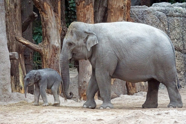An adult asian elephant and its calf