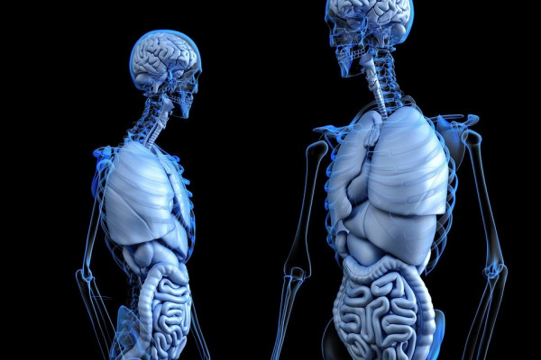 two CGI figures, showing the systems of organs in the body