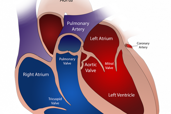 a diagram of heart and valve