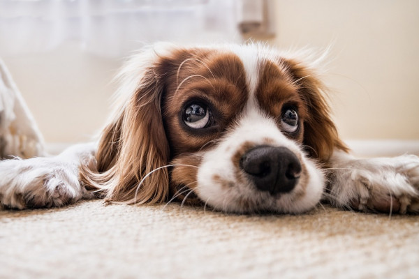 A dog shows off its puppy dog eyes