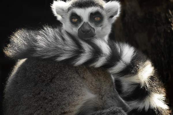 this is a photo of a ring-tailed lemur