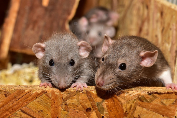 Rats leaning over the edge of their container.