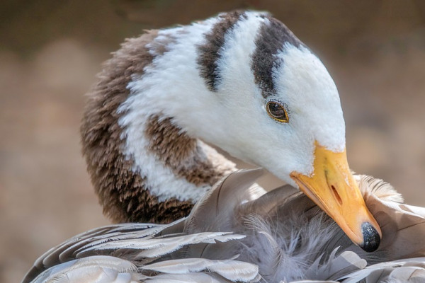 A bar-headed goose