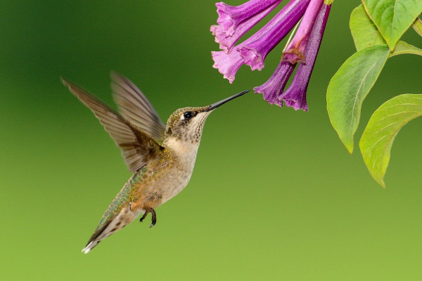 A hummingbird in flight about to feed.