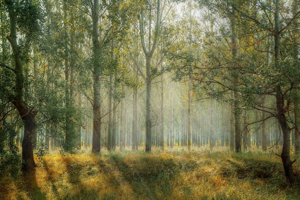 A forest of tall, thin trees lit by sunlight